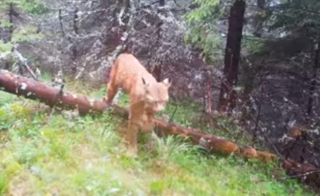O pisică sălbatică rară surprinsă într-o pădure din țara noastră